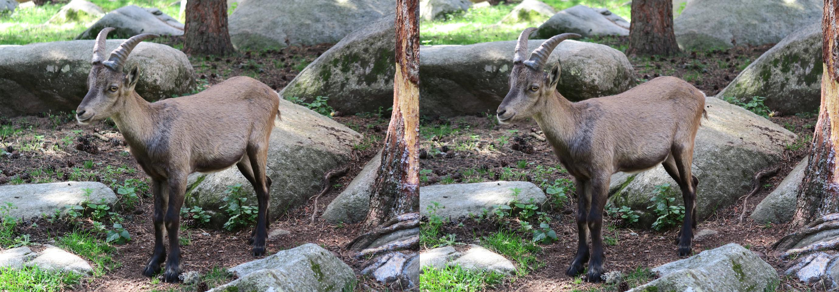 Baby Spanish Ibex in the French Pyrénées