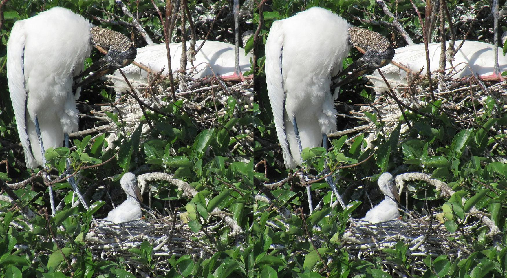 Wood Stork Eggs are Hatching - March 2021