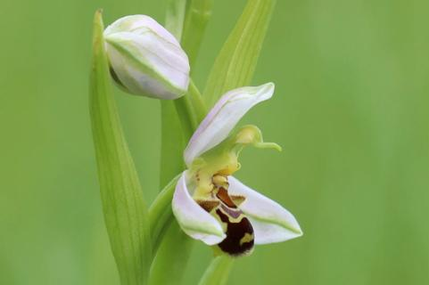 Ophrys abeille(fr) Bee orchid (en)