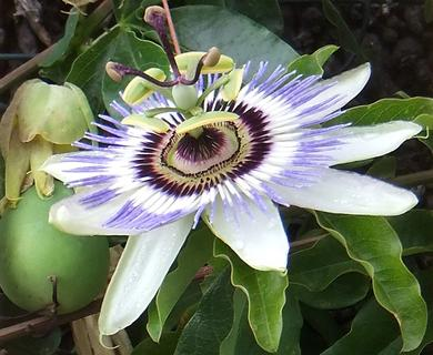 Passion flower & fruit