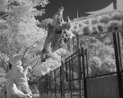 Feeding the Giraffe (IR)