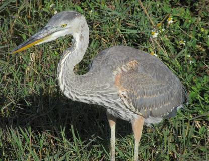 Great Blue Heron Hunting for Breakfast