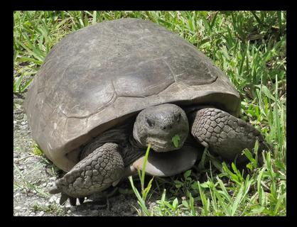 Gopher Tortoise (7/3/2020)