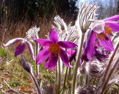 ... European pasqueflower ...